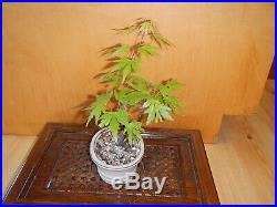 8 Year Japanese Maple Acer Palmatum Aureum 1/2 Inch Trunk Bonsai Tree