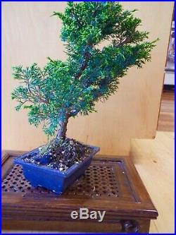 8 Year Old Shohin Shimpaku Itoigawa Juniper 3/4 Inch Trunk Styled By Boon Bonsai