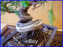 8 Year Old Shohin Shimpaku Juniper 3/4 Inch Spiral Trunk Bonsai Mizutani Pot