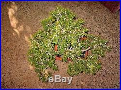 90 Plus Year Old Established Lodgepole Pine Yamadori Bonsai