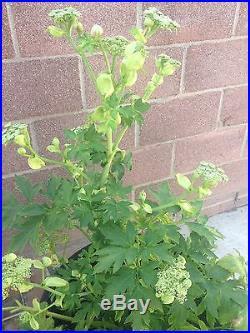 ASHITABA PLANT (aka TOMORROW'S LEAF)-ORGANIC