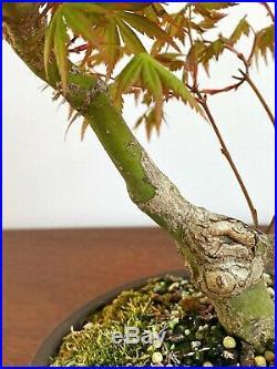 Acer Palmatum Specimen Bonsai In Unglazed Japanese Pot
