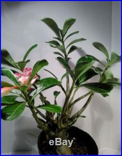 Adenium Obesum Desert rose plant live plants