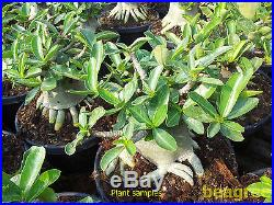 Adenium Thai socotranum nice form root setting plant 3.5-4 caudex, bonsai+BONUS