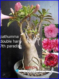 Adenium obesum muti tips, fancy flowers 3-4 caudex bonsai, grafted plant, rare