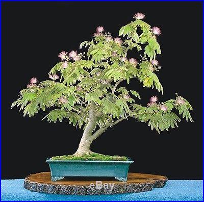 Albizia Julibrissin Mimosa Bonsai Persian Pink Silk Tree seeds Amazing Rare