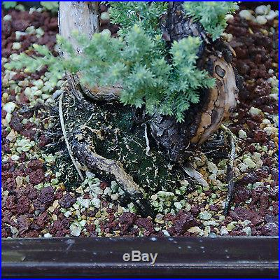 Amazing Deadwood Japanese Juniper Bonsai Tree Procumbens Nana # 2846_1