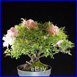 Amazing Japanese Satsuki Azalea Pre Kifu Bonsai Tree # 9119_1