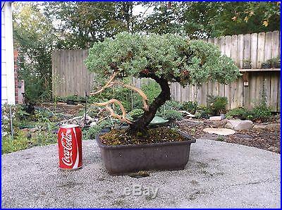Amazing Juniper Bonsai