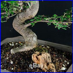 Amazing Large Chinese Elm Bonsai Tree Ulmus parvifolia # 0010