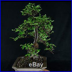 Amazing Large Chinese Elm Bonsai Tree Ulmus parvifolia # 0976