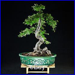 Amazing Large Chinese Elm Bonsai Tree Ulmus parvifolia # 9078_1