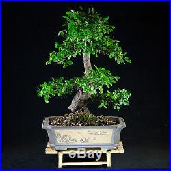 Amazing Large Chinese Elm Bonsai Tree Ulmus parvifolia # 9086_1