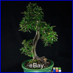 Amazing Large Chinese Elm Bonsai Tree Ulmus parvifolia # 9628_1