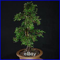 Amazing Large Chinese Elm Bonsai Tree Ulmus parvifolia # 9634_1