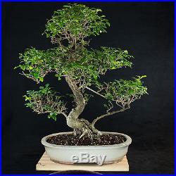 Amazing Large Chinese Privet Bonsai Tree Ligustrum Sinense # 2429