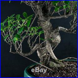 Amazing Large Taiwanese Ficus Bonsai Tree Tiger Bark # 1490