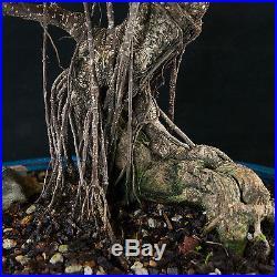 Amazing Large Taiwanese Ficus Bonsai Tree Tiger Bark # 3592