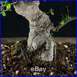Amazing Large Tiny Leaves Chinese Elm Bonsai Tree Ulmus parvifolia # 8939_1