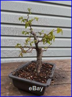 American Hornbeam bonsai