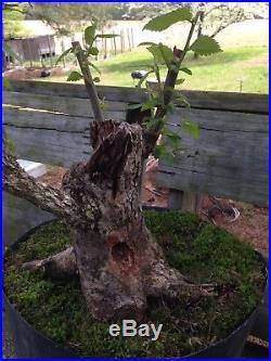 American Hornbeam bonsai tree