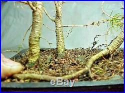 American Larch Tamarack Bonsai 3 Tree Forest 14 Tall 8 Pot Good Low Branching