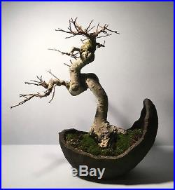 Ancient Looking Show Ready Imported Specimen Chinese Elm Shohin Bonsai