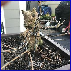 Ancient Trident Maple Bonsai Tree