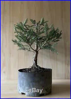 Aptos Blue Redwood Pre Bonsai Tree Evergreen Big Think Trunk Buttress