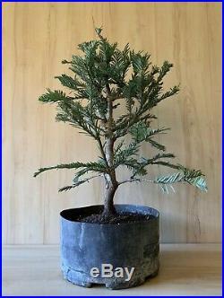 Aptos Blue Redwood Pre Bonsai Tree Evergreen Big Think Trunk Movement