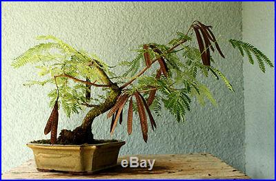 Australian Acacia Bonsai