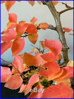 Authentic Bonsai Korean HornBeam (Carpinus Turczaninowii) Nice Old Specimen #3