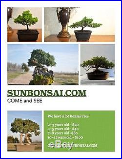Awesome Bonsai Tree japanese juniper 23 years old