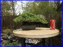 Awesome Juniper Bonsai Tree