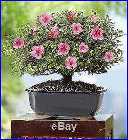 Azalea Bonsai 8-Year Specimen in Ceramic Planter-Feng Shui Plant Gift Present
