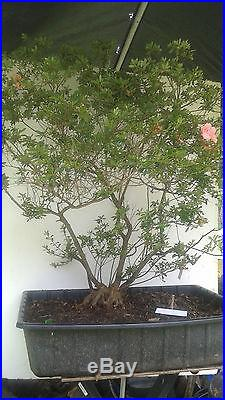 Azalea Southern Indica Hybrid Bonsai Azalea Tree