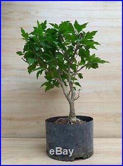 Indoor Bonsai Big Strawberry Smoothie Rose Of Sharon Flowering Thick Trunk Bonsai Tree Negari Http Indoorbonsai Biz