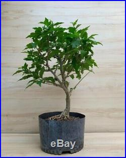 BIG Strawberry Smoothie Rose Of Sharon Flowering Thick Trunk Bonsai Tree Negari