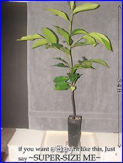 BLACK SAPOTE Chocolate Pudding Tree RARE FRUIT Diospyros digyna LIVE PLANT