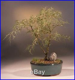 BONB-E1458-Laceleaf Weeping White Birch Bonsai Treebetula pendula'trosts dwar