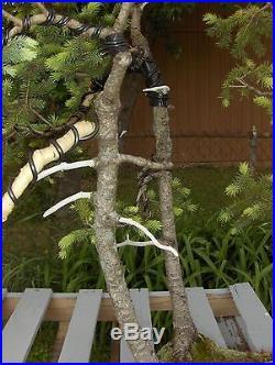 BONSAI SPRUCE 3 TREE with JINN
