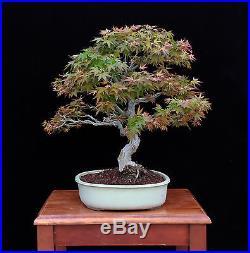 BONSAI TREE Akane JAPANESE MAPLE IN SHAKAN STYLE