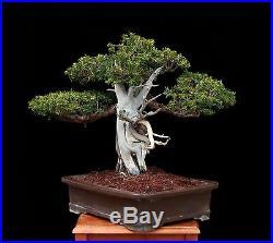 BONSAI TREE BEN OKI JAPANESE YEW in TOKONAME POT
