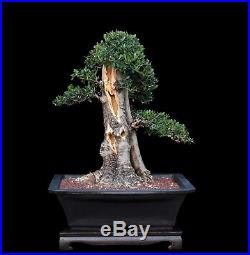 BONSAI TREE BIG OLD COLLECTED OLIVE with 8 inch Trunk