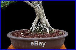 BONSAI TREE BIG OLD INFORMAL UPRIGHT BOXWOOD