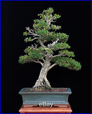 BONSAI TREE BIG OLD INFORMAL UPRIGHT BOXWOOD in AGED JAPANESE POT
