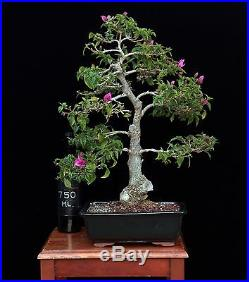 BONSAI TREE BOUGAINVILLEA with 3 TRUNK