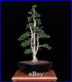 BONSAI TREE BOXWOOD MULTI TRUNK in BLACK GLAZED pot