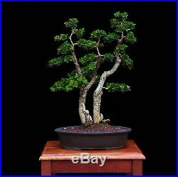 BONSAI TREE BOXWOOD MULTI TRUNK in JAPANESE pot