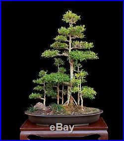 BONSAI TREE BOXWOOD SAIKEI FOREST PLANTING IN SHALLOW OLD JAPANESE CLAY POT